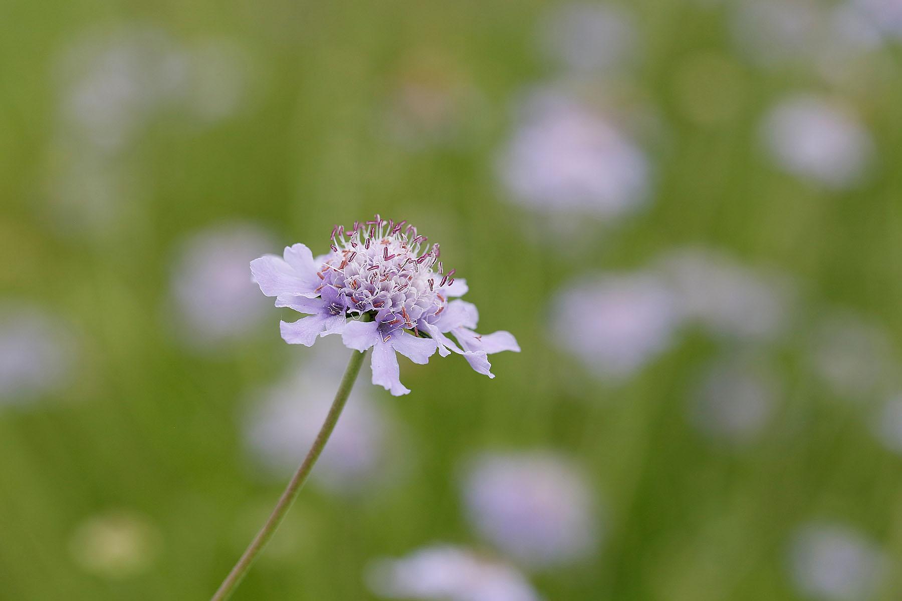 〓マツムシソウの花をじぃーっと見た