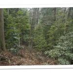 照葉樹林床のブナ林